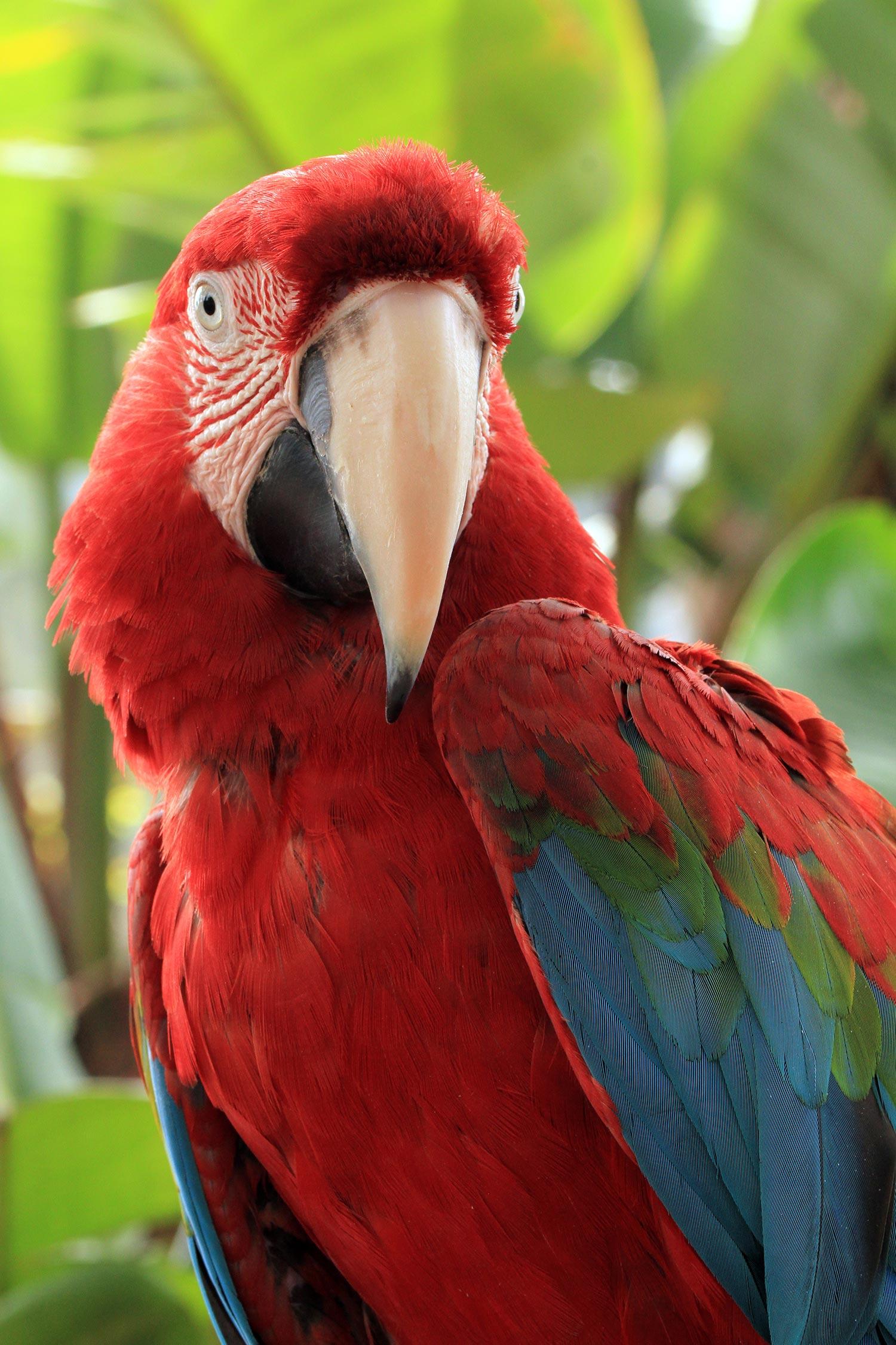 Macawli