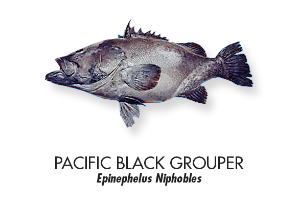 Pacific-black-grouper.jpg