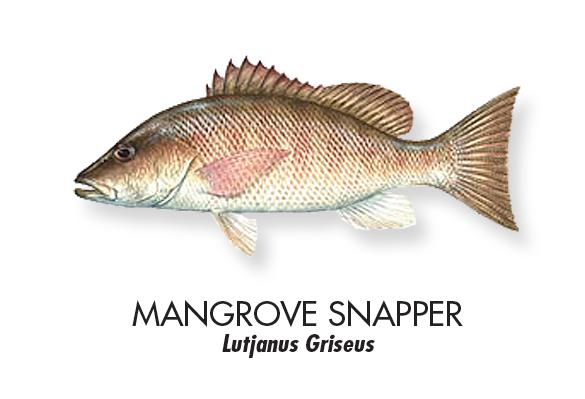 MANGROVE-SNAPPER.jpg