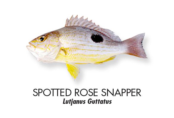 Spotted-rose-snapper.jpg