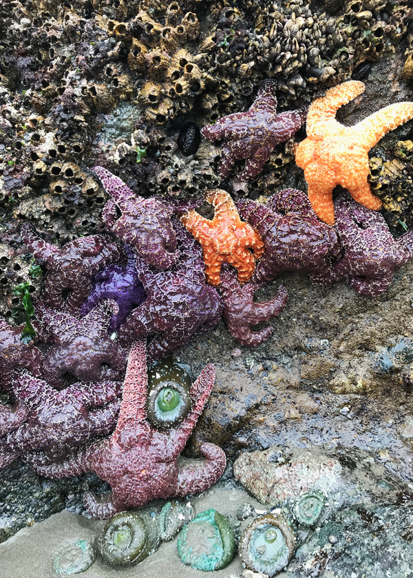 barnacles, sea anemones, purple and orange star fish on sea stack rock wall at Shi Shi Beach on Olympic Peninsula