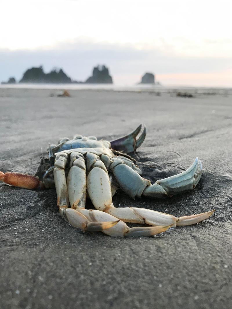 dead crab on shi shi beach olympic peninsula wa