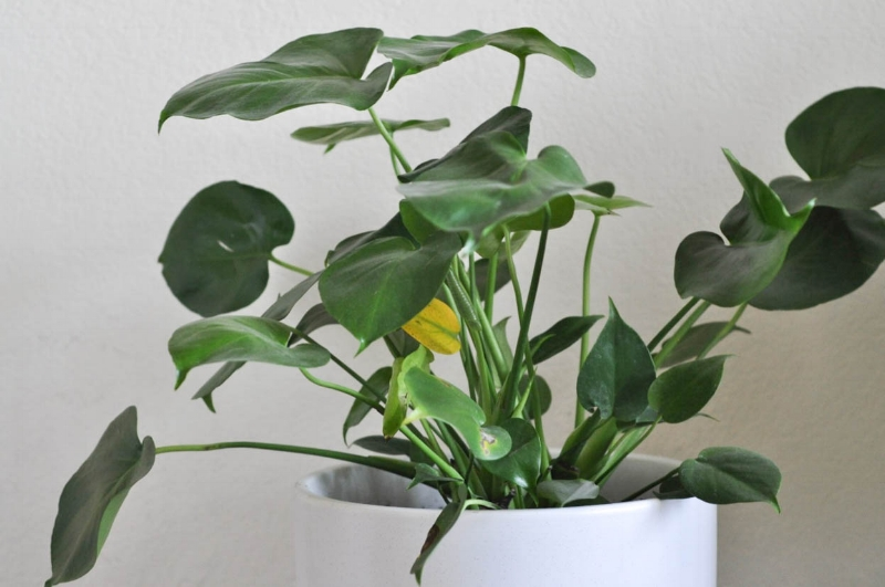 Over watered Monstera, yellowing leaves & dry brown spots.