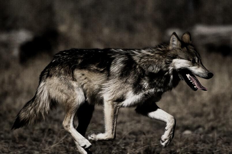 gray+wolf.jpg