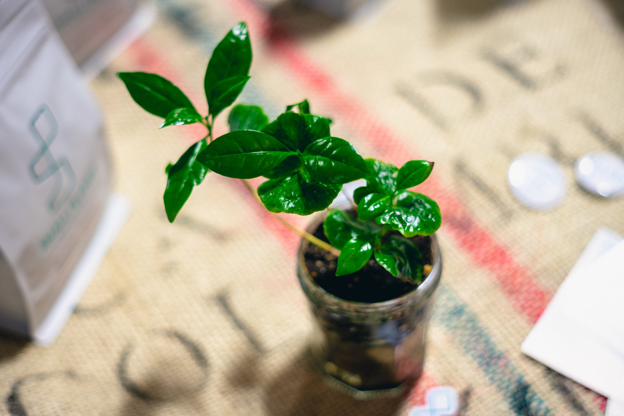 Issa coffee plant!
