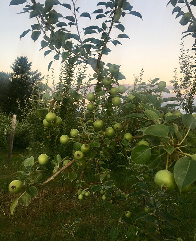 Summer sunsets in the orchard. Oldfield Perry Pears + Porter's Perfection #ciderfromapples #perryfrompears #orchardtoglass #craftcider #carlton #frenchlaneorchard