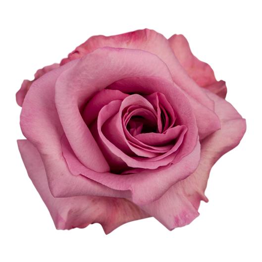 Plum Bruleé ®   Variedades - IRB