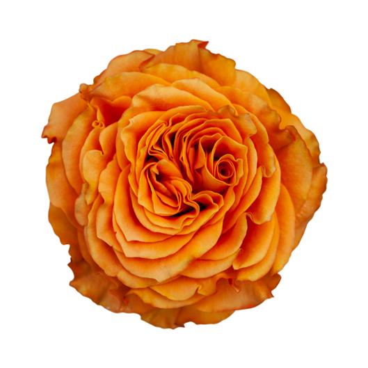 Maravilla ®   Garden Rare - Jan Spek Rozen