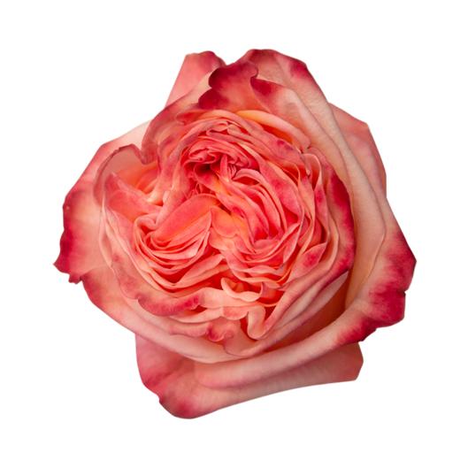 Lovely Hearts   Tea Garden - Jan Spek Rozen