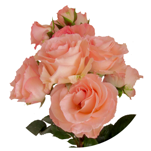 Constellation ®   Spray Roses - IRB