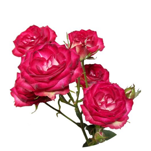 Andromeda ®   Spray Roses - IRB