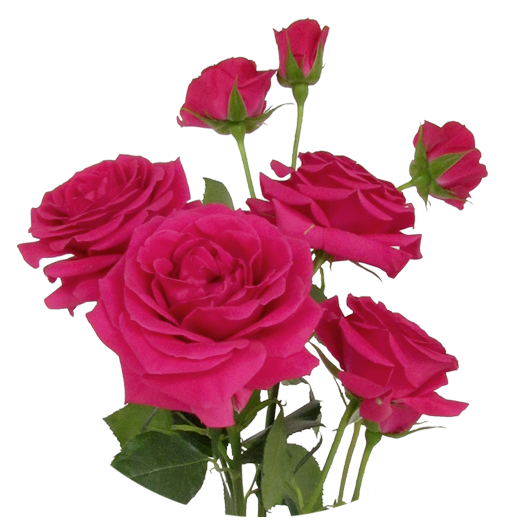 Gem Star ®   Spray Roses - IRB