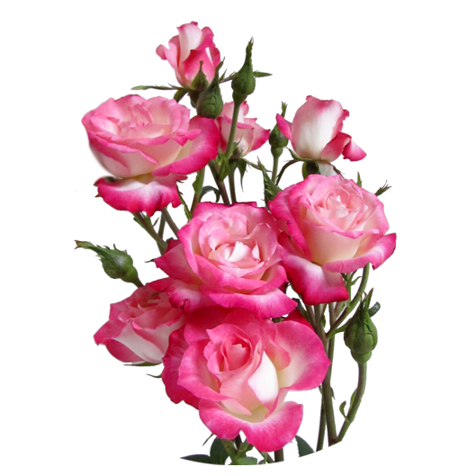 Milky Way ®   Spray Roses - IRB
