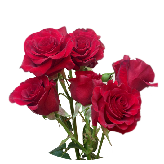 Shooting Star ®   Spray Roses - IRB