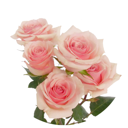 Star Blush ®   Spray Roses - IRB
