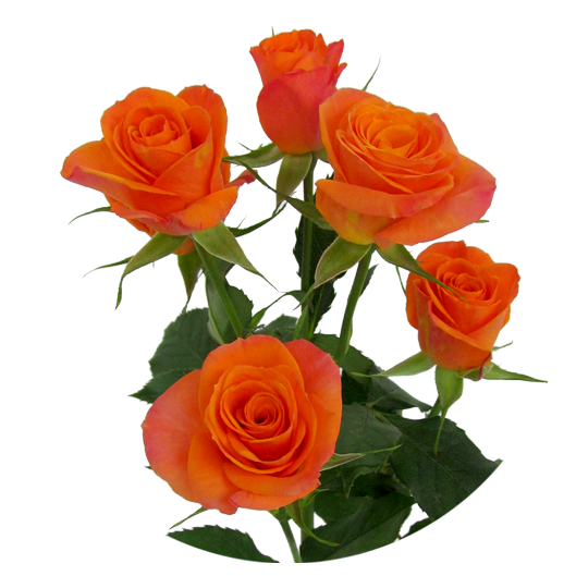 Orange Star ®   Spray Roses - IRB