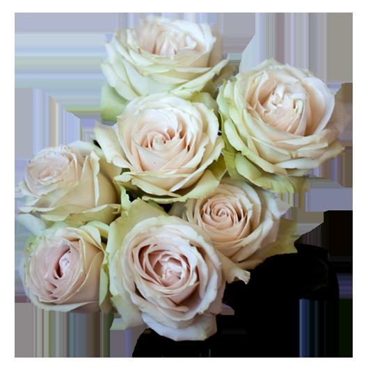 Cream Iriscka ®   Spray Roses - Jan Spek Rozen