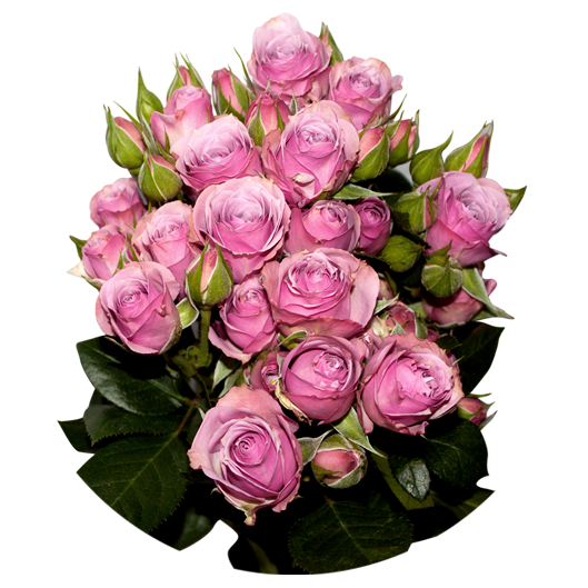 Lavender Irischka ®   Spray Roses - Jan Spek Rozen