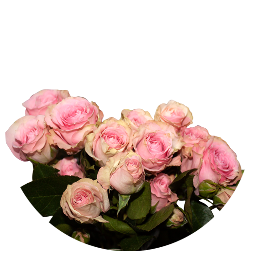 Pink Irischka ®   Spray Roses - Jan Spek Rozen