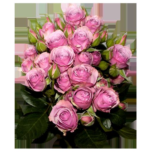 lavender-iricksa.png
