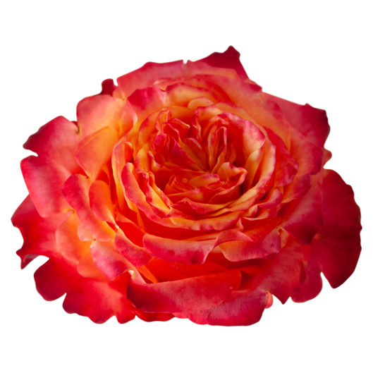 Acapulco ®   Garden Rare - Jan Spek Rozen