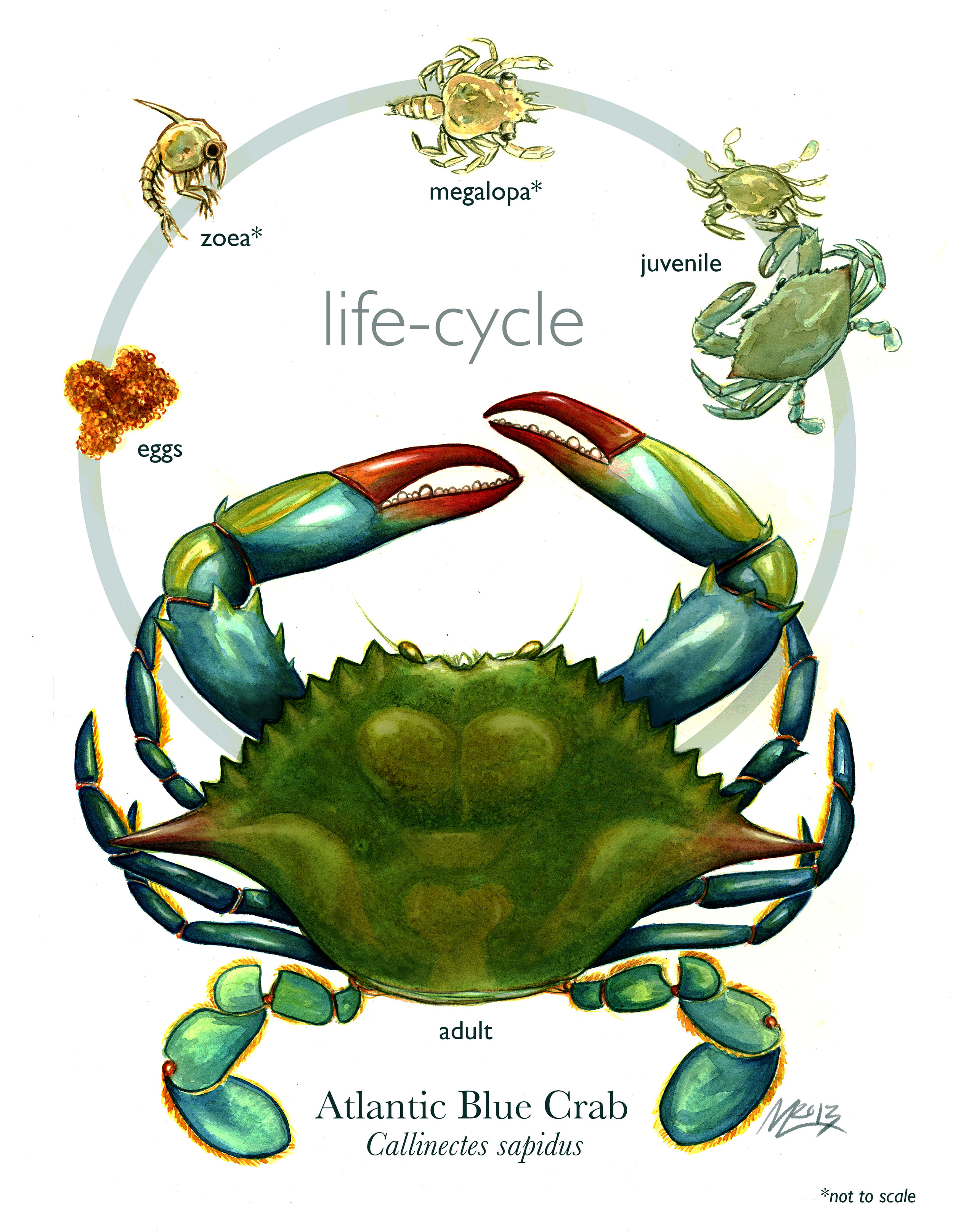 Blue Crab Life Cycle