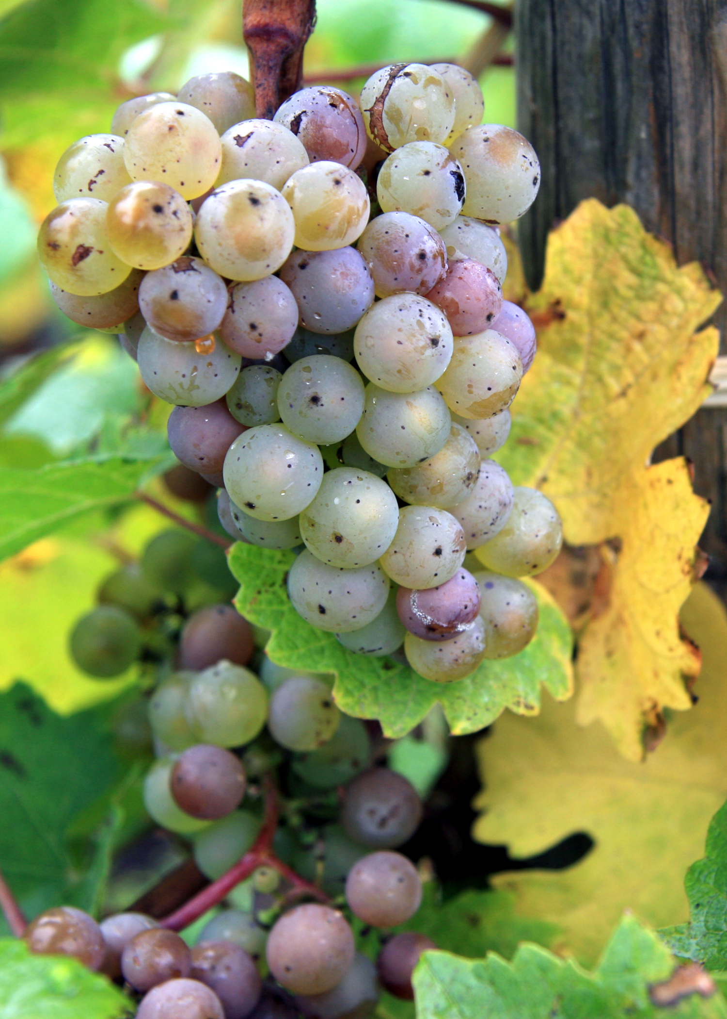 RIESLING GRAPES ON THE VINE - IMAGE COURTESY OF DRYNC.COM