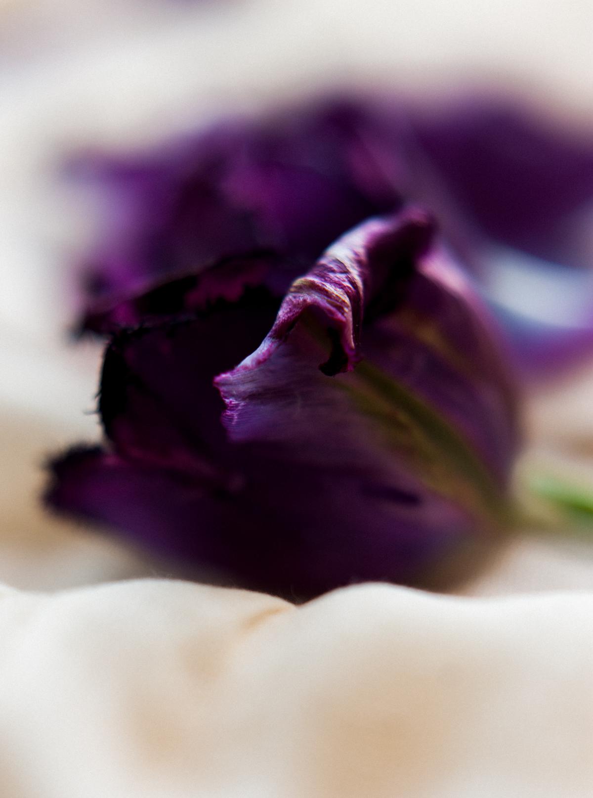 close up tulips