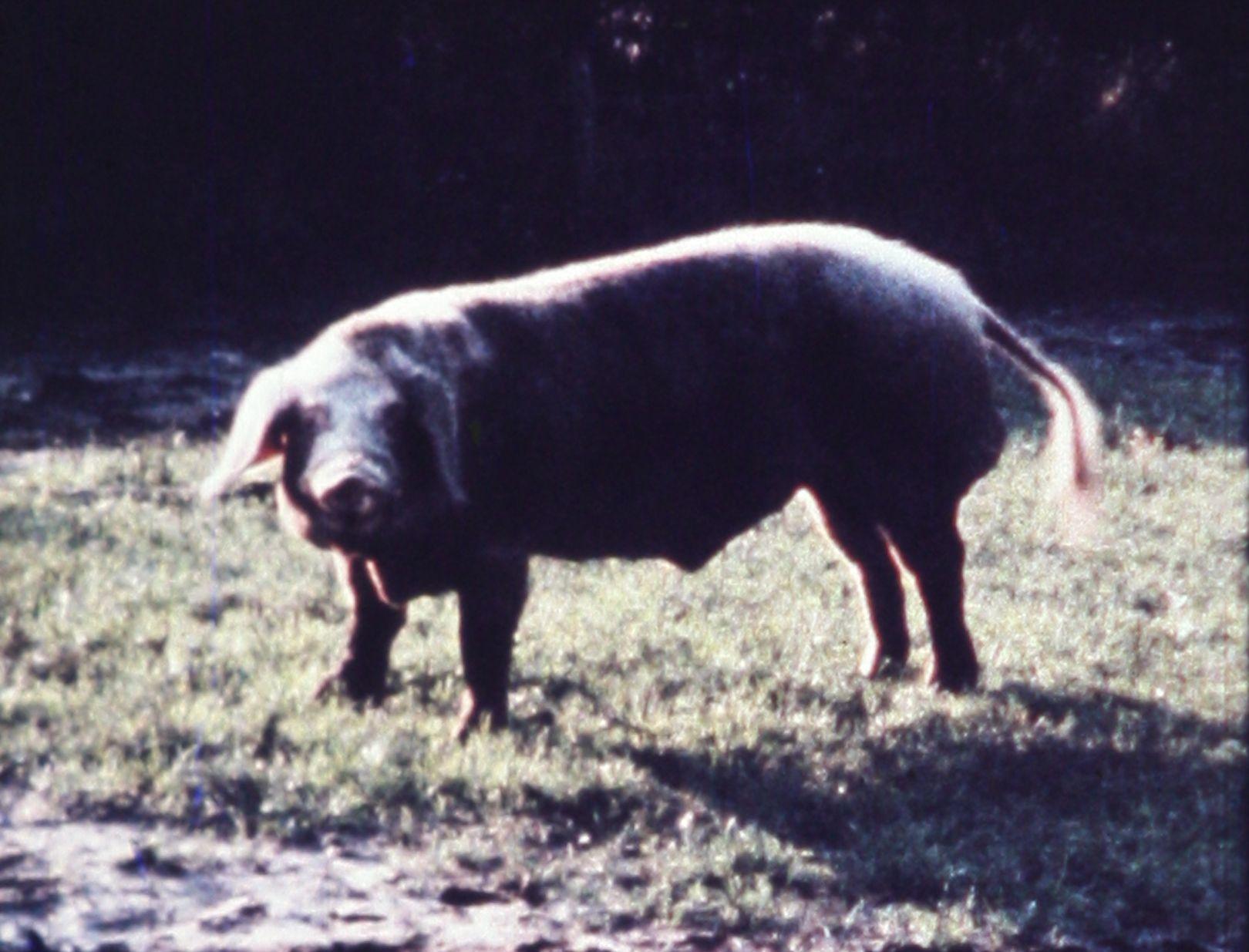 Margaret Raspé, Schweineschnitzel (Pork Schnitzel), 1971, Super 8 transferred to blu-ray, color, silent 04:00 min Courtesy: Galerie Emanuel Layr