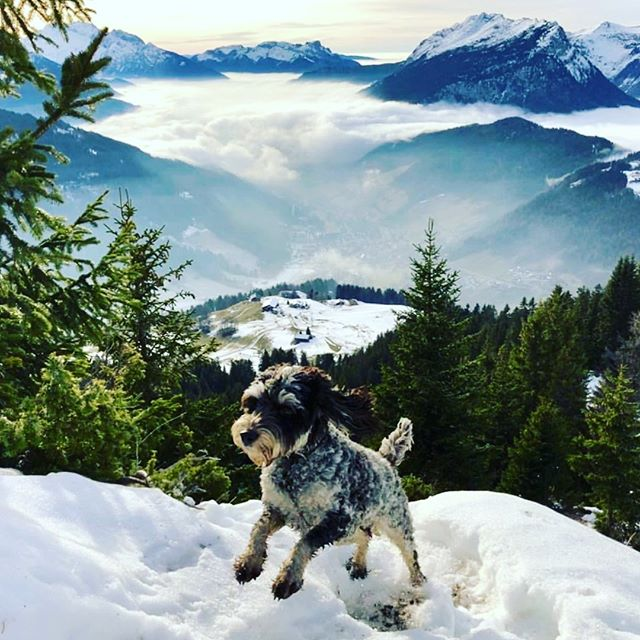 Tipsy, one of La Ferme's team of chalet hosts, enjoys his 1st birthday in the sun... 🏔❄️🌞🐶 📸 @louby_faure