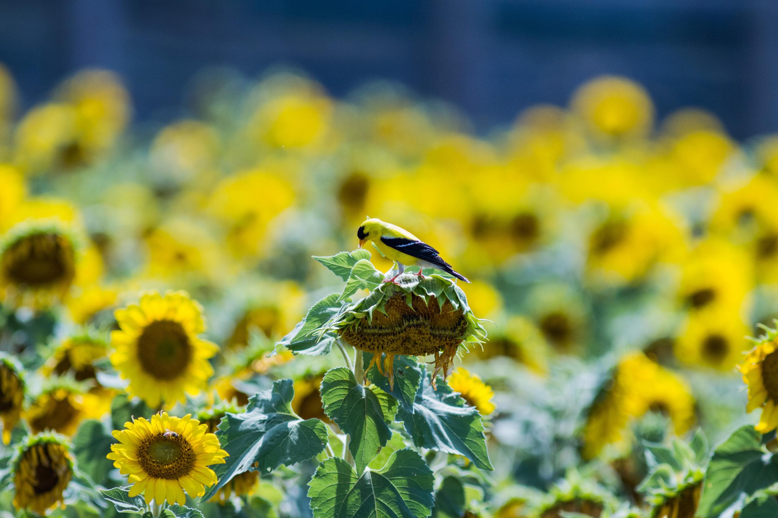 Bird_Sunflowers.jpg