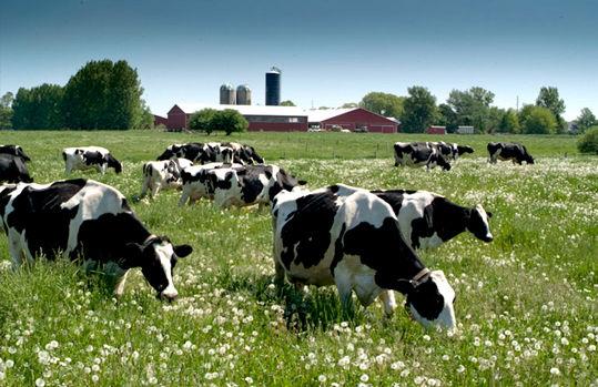 happy-cows-at-harmony-organic.jpg