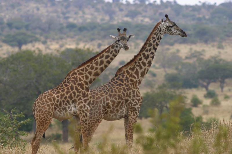 giraf 2 tarang.jpg