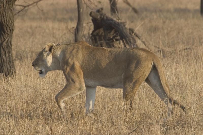 lioness serengeti.jpg