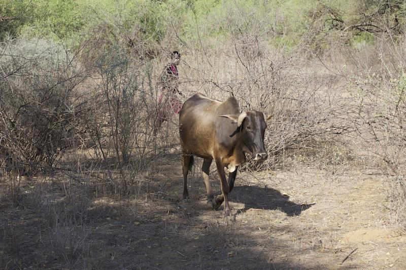 2-cow.jpeg