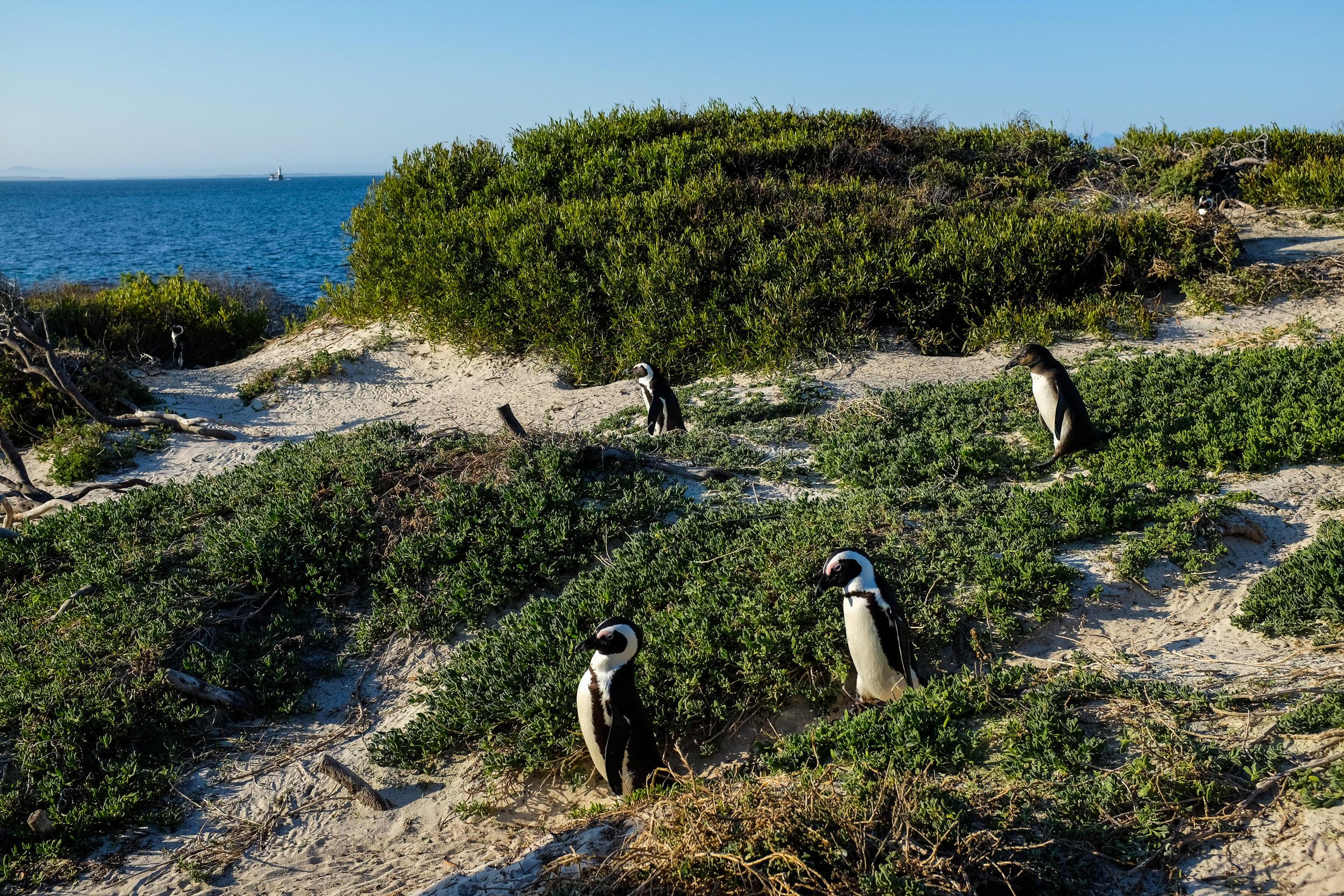 Boulders Beach / Cape Peninsula / South Africa