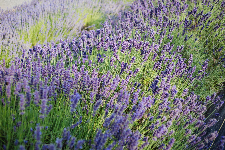 U-Cut Lavender — Lavender Hill Farm