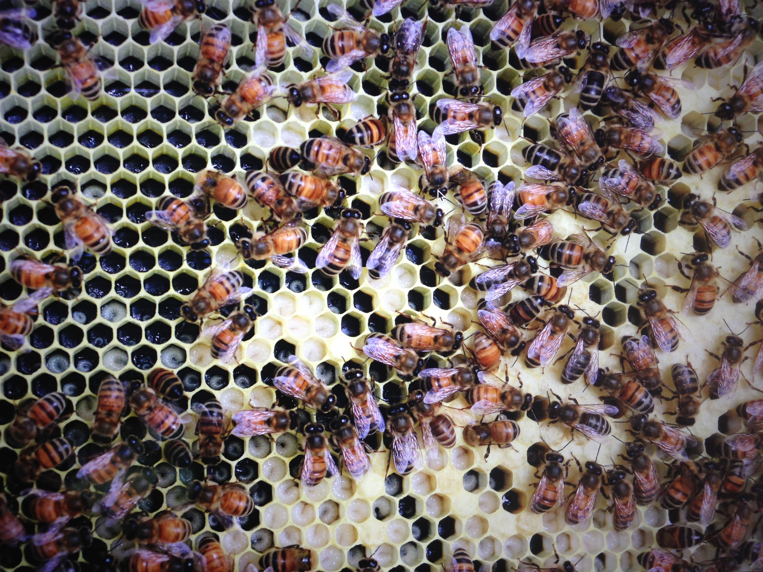 Bee larvae at various stages inside the honeycomb cells.