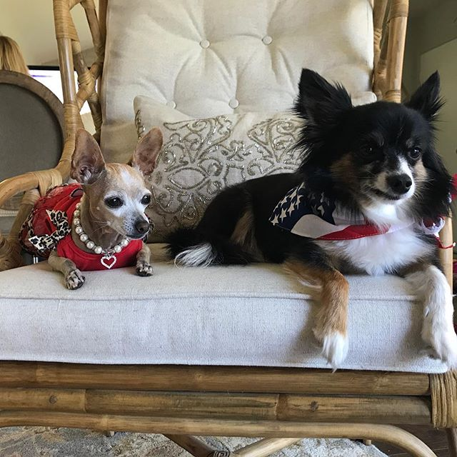 Happy to be Free! 💙❤️💙❤️💙❤️🇺🇸🇺🇸🇺🇸 #chihuahualover #chihuahuasofinstagram #chihuahualove #chihuahua #chihuahuafanatics  #4thofjuly🇺🇸🇺🇸 #4thofjulyoutfit #pawsomechihuahua #pawesomechihuahuas #chihuahuaoftheday