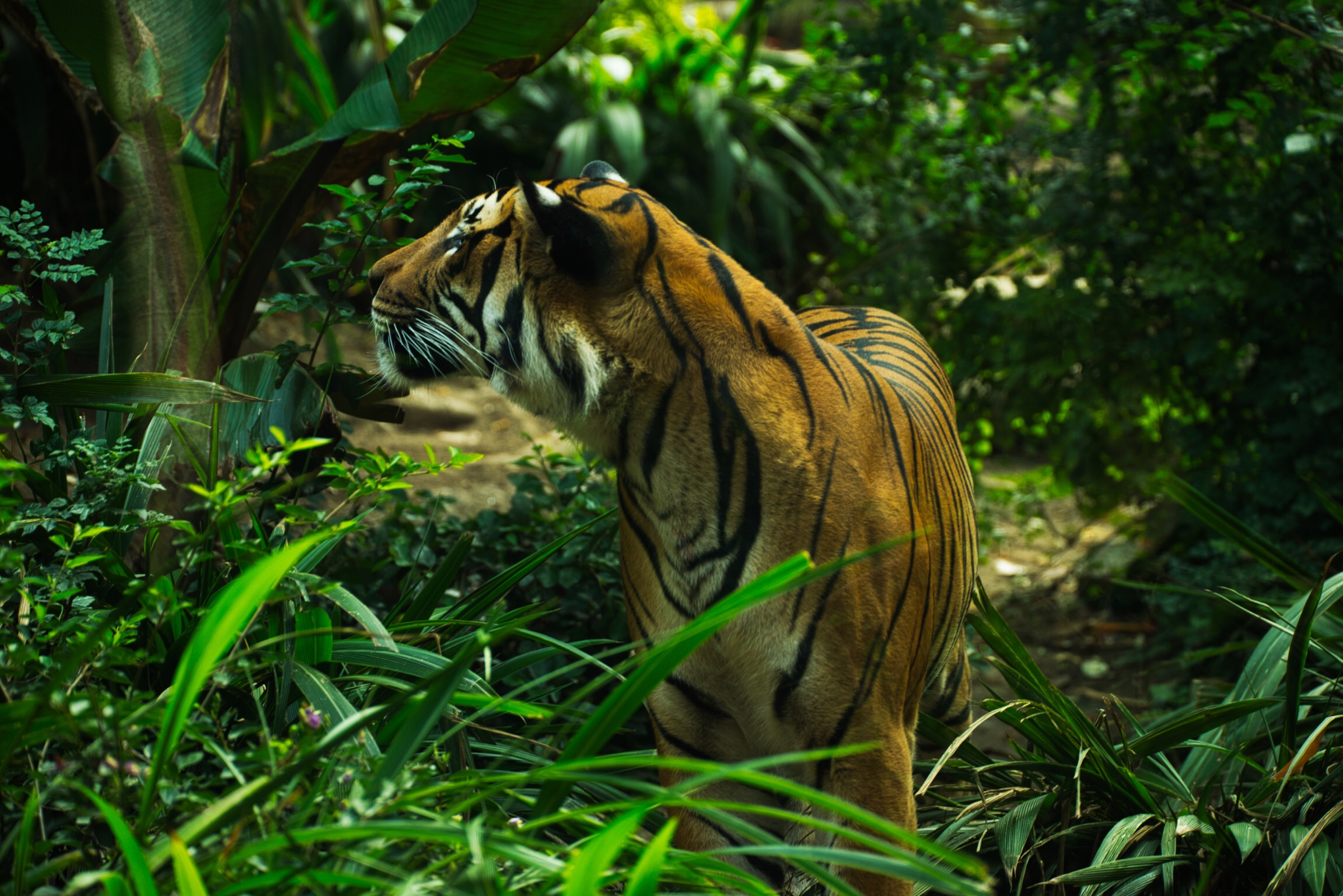 A Malaysian Tiger surveys his environment in the San Diego Zoo. This image in a raw file consumed about 25 mB of space.