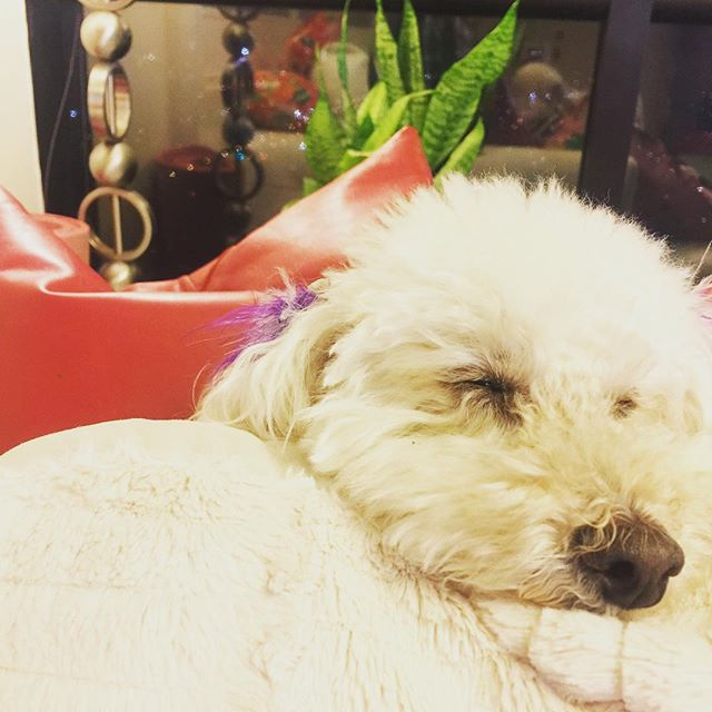 Snuggle time with my #sukoshiboy 🐩 #mybaby #myotherman #poodle #toypoodle #dog #heshuman