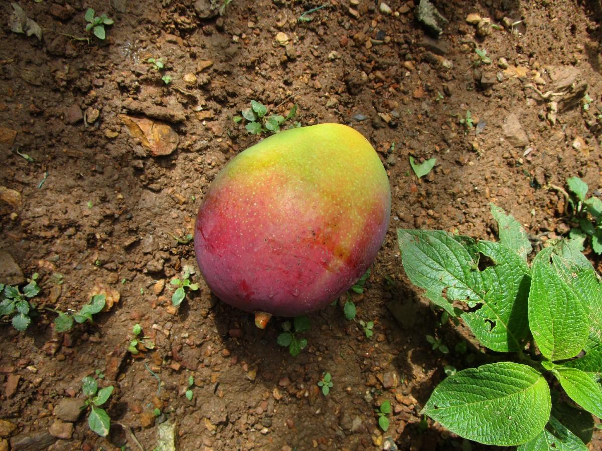 5 mango.jpeg