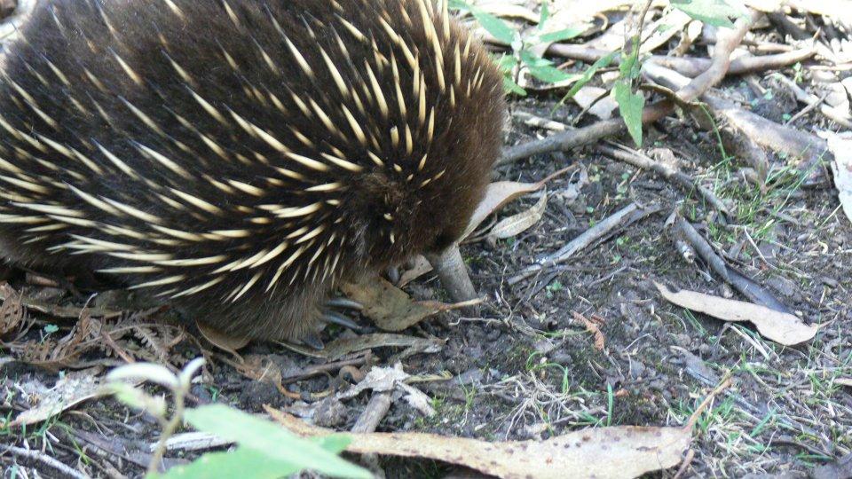 Echidna - TasmanIA