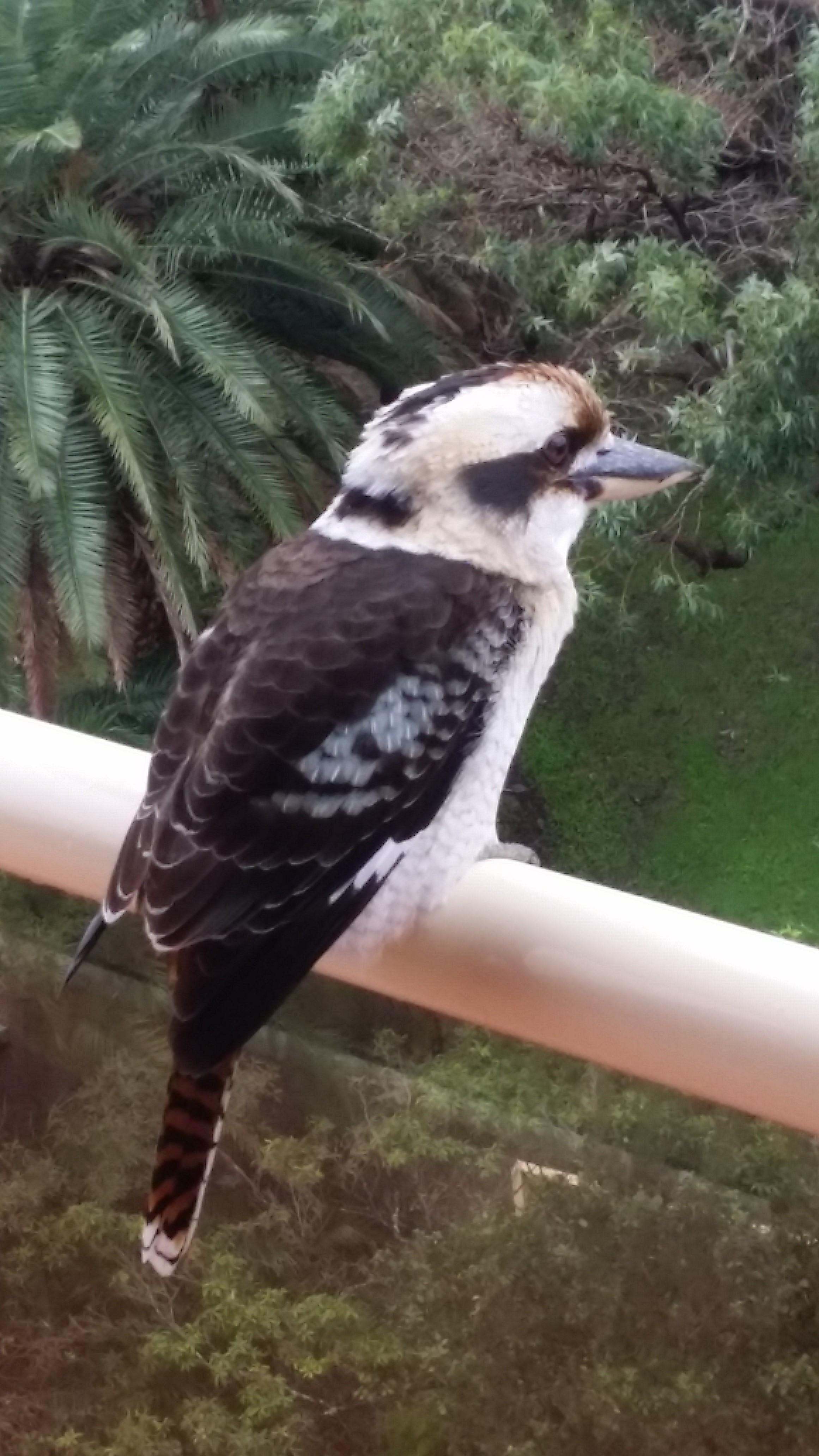 Kookaburra on my balcony, Sydney