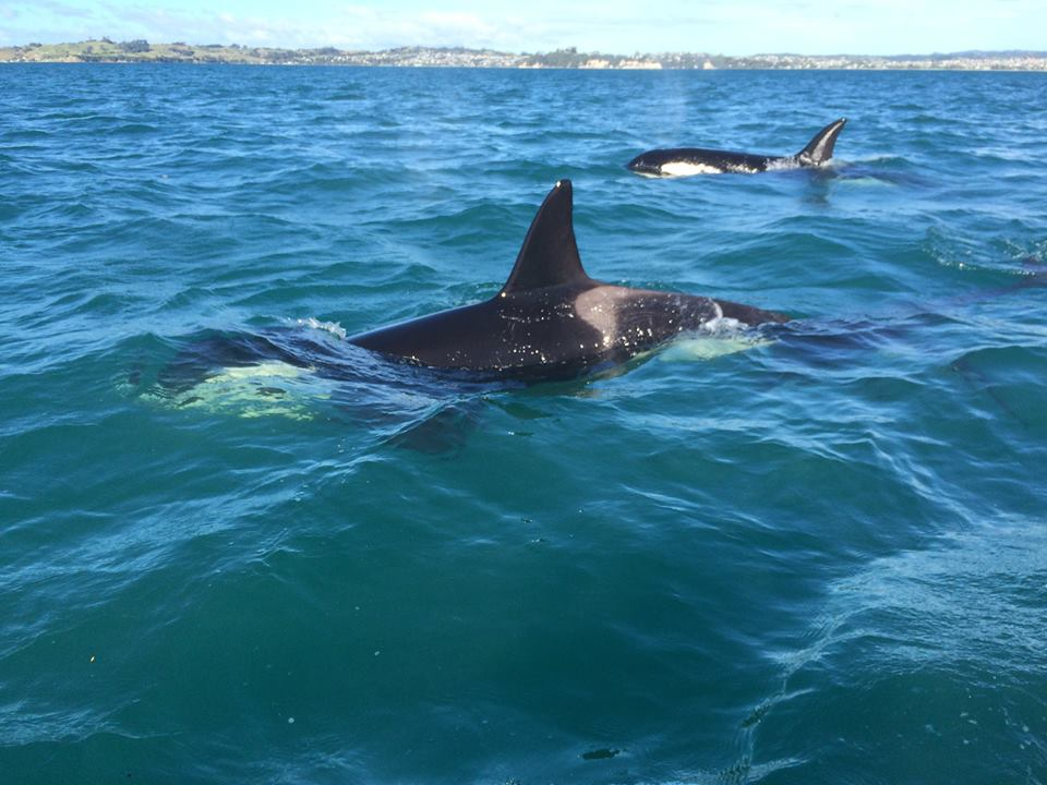 Orcas in Hauraki Gulf New Zealand