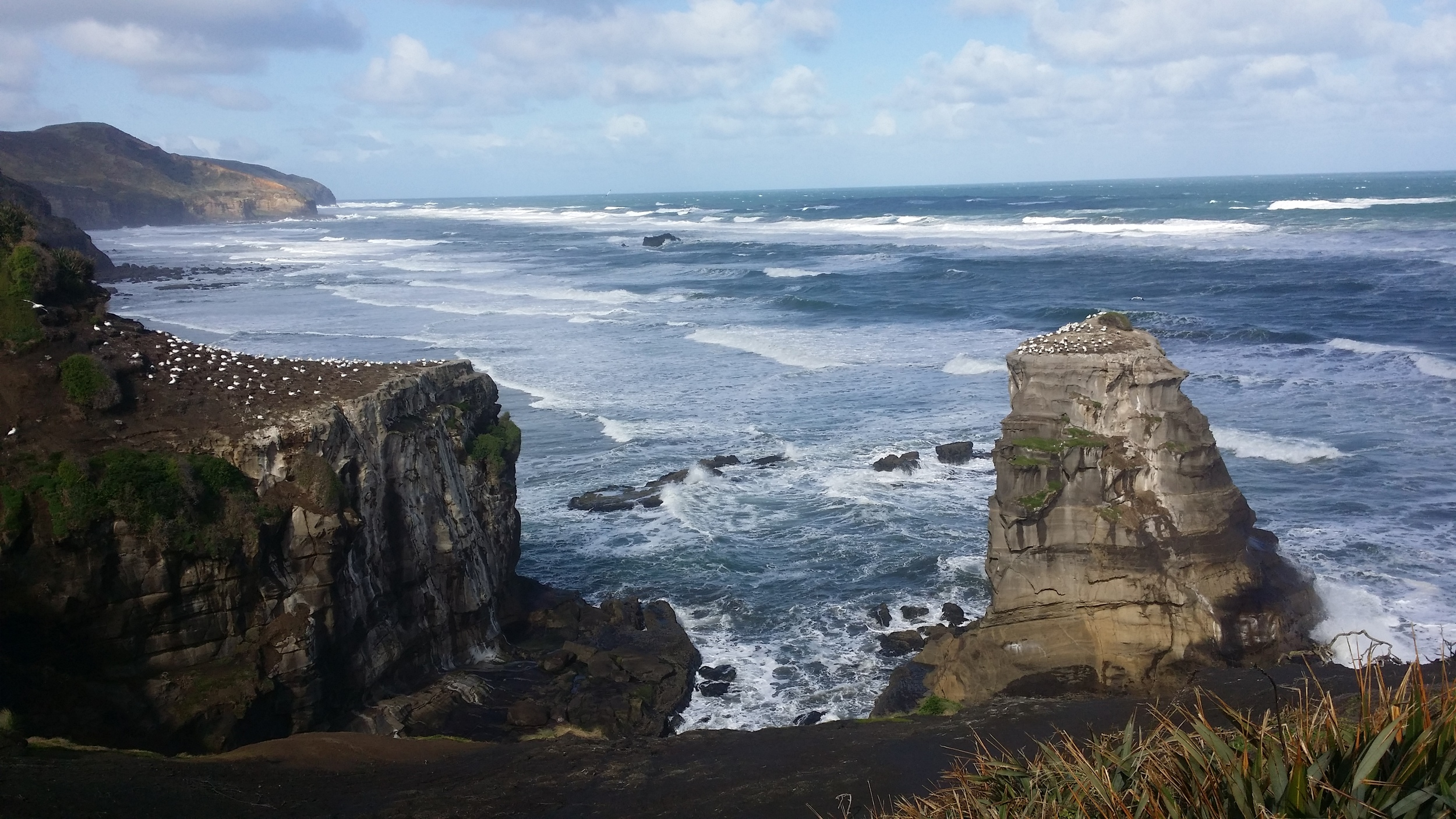 Gannet colony, Muriwai Beach, Auckland New Zealand