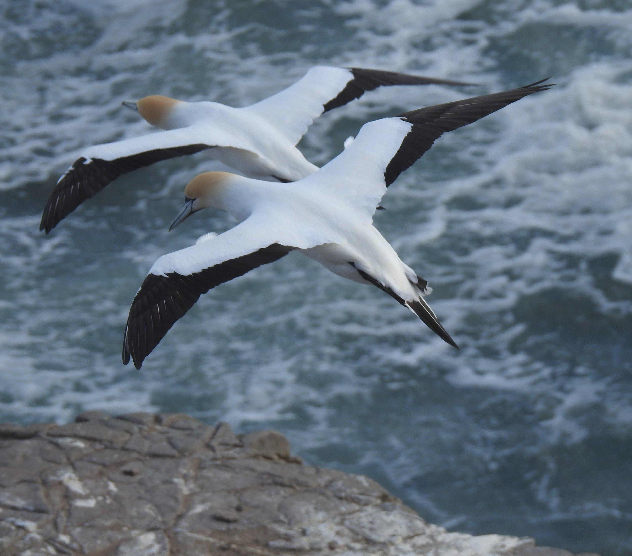 gannets 1.JPG
