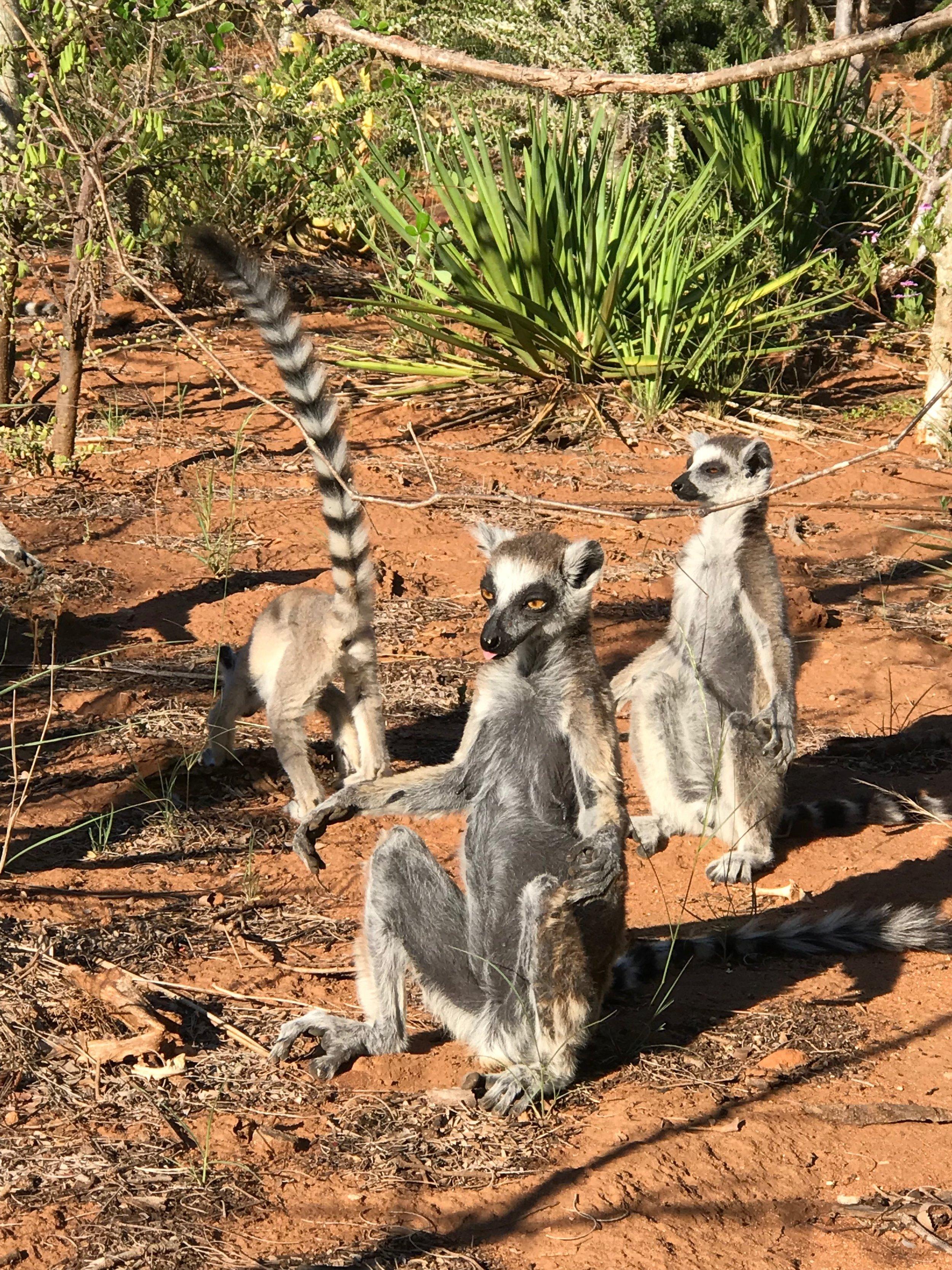Ring Tailed Lemur group