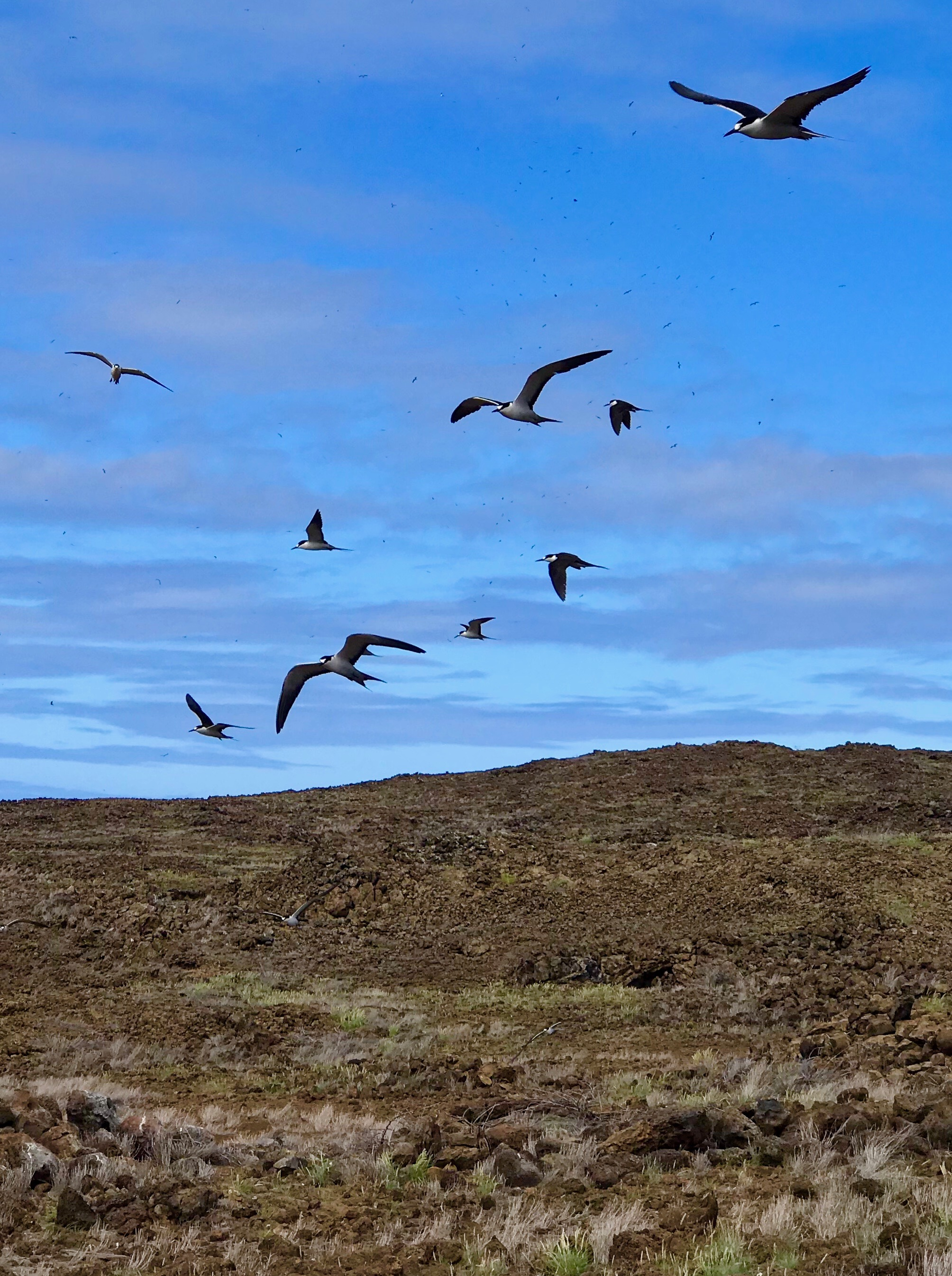 Sooty Terns - thousands of them