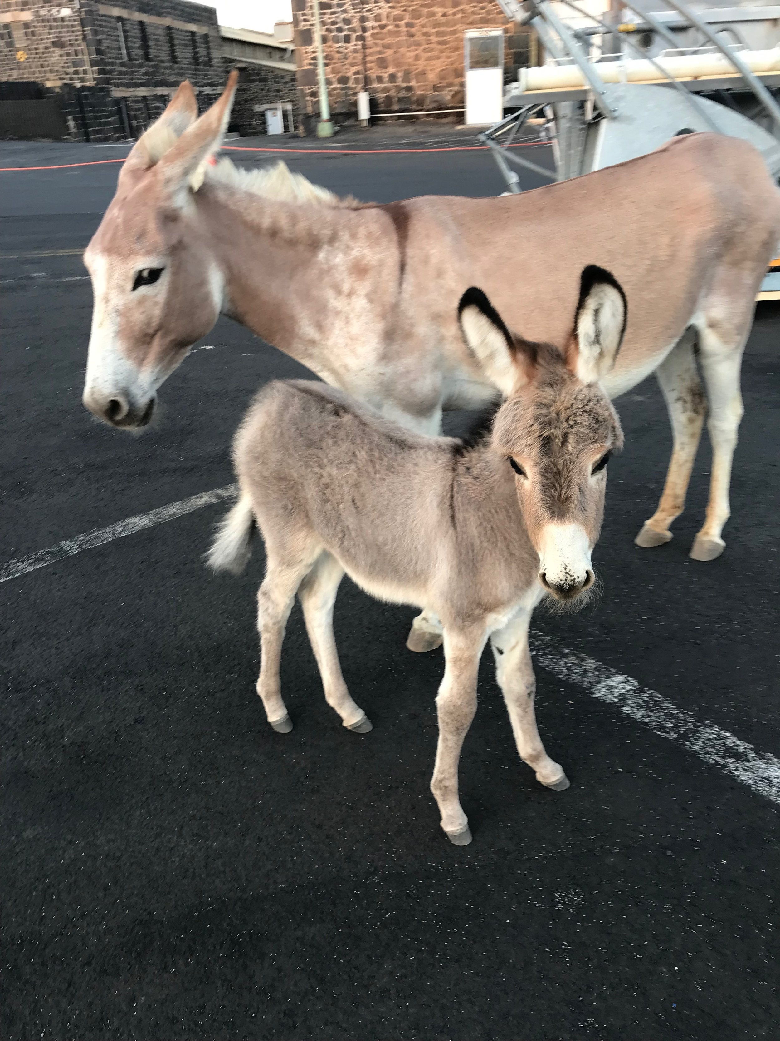 Donkeys wander the streets